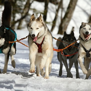 #23 Go dog sledding
